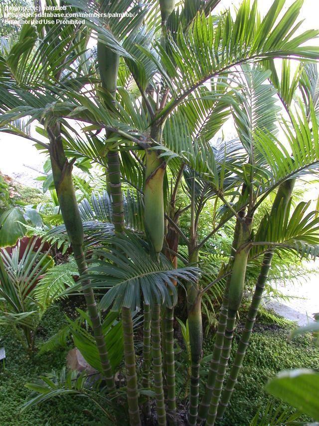 Les 61 meilleures images du tableau palmier sur pinterest for Entretien palmier exterieur