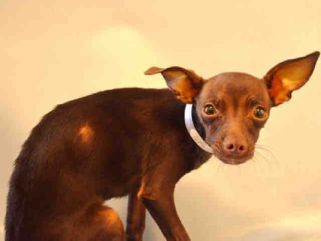 ‼️SEVERELY ILL, PROB. LIVER DISEASE‼️Super Urgent Manhattan - NICHOLA - #A10965341 - MALE CHOCOLATE CHIHUAHUA SH MIX, 1 Yr - STRAY - HOLD FOR LOST &FOUND - Reason STRAY - Intake 11/11/16 Due Out 11/14/16- SEVERELY UNDERWEIGHT, JAUNDICE, TENTING OF SKIN - PROGNOSIS POOR TO GRAVE W/O TX. - NOW GUARDED
