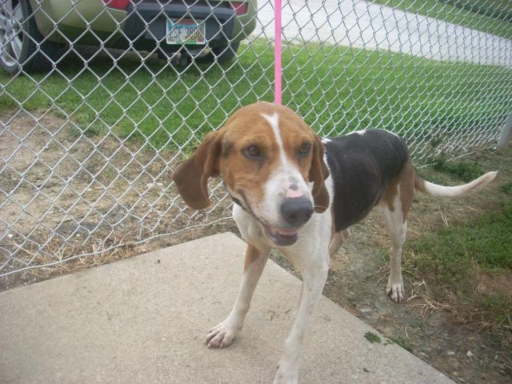 # 7 AVAILABLE! ( 4 + YRS ) Treeing Walker Coonhound • Adult • Female • Med. Available a limited time from the Carroll County Dog Pound, 2185 Kensington Rd. NE, Route 9, Carrollton, Ohio 44615! 330-627-4244. Located SE of the Akron/Canton area. The pound is open Monday-Friday, 7-4, except holidays. $20 adoption fee includes dog license which will be mailed and a 5-way shot. Dogs at the pound are strays and surrenders and not health or temperament checked.