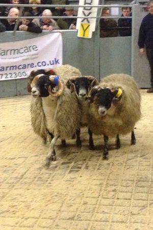 Scottish Blackface judging > Roxan Livestock Ear Tags Latest News Update | Roxan ID