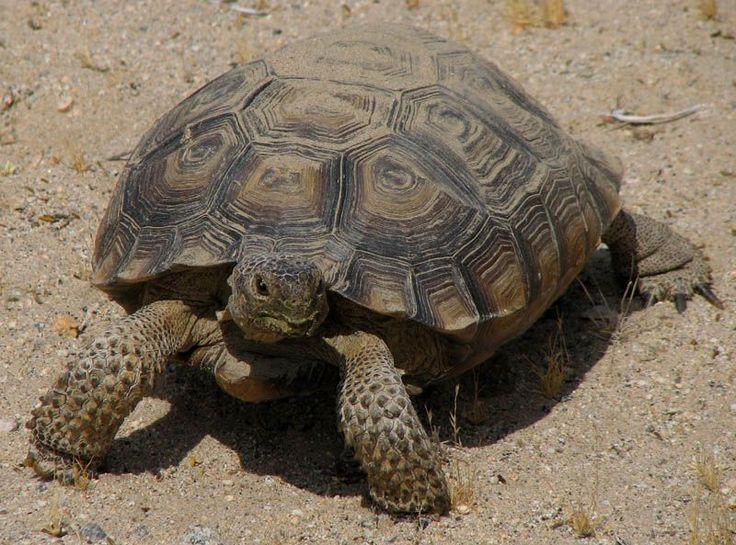 Usa 209 Nevada Las Vegas El Culto A La: Nevada State Reptile - Desert Tortoise