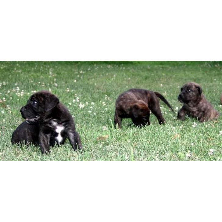 3 Brindle Males  Mastiff Puppies for Sale