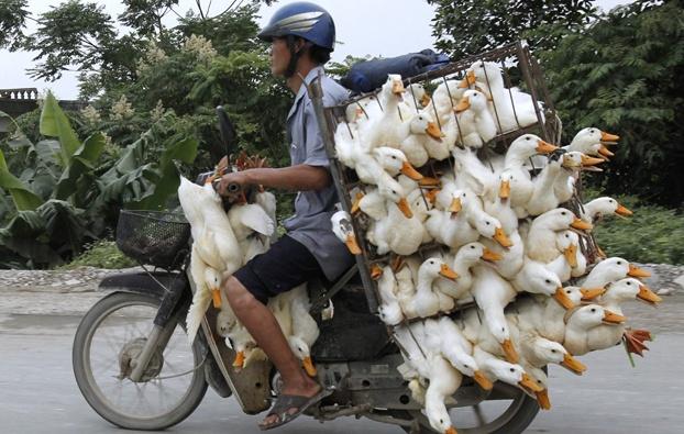 Un allevatore di papere ad Hanoi, in Vietnam. (Kham, Reuters/Contrasto)