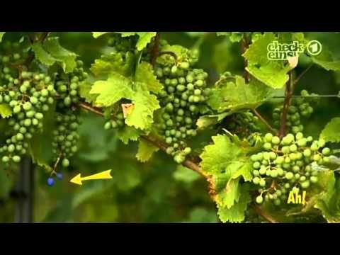 Wie vermehren sich kernlose Trauben?  | Wissen macht Ah! | DAS ERSTE | WDR