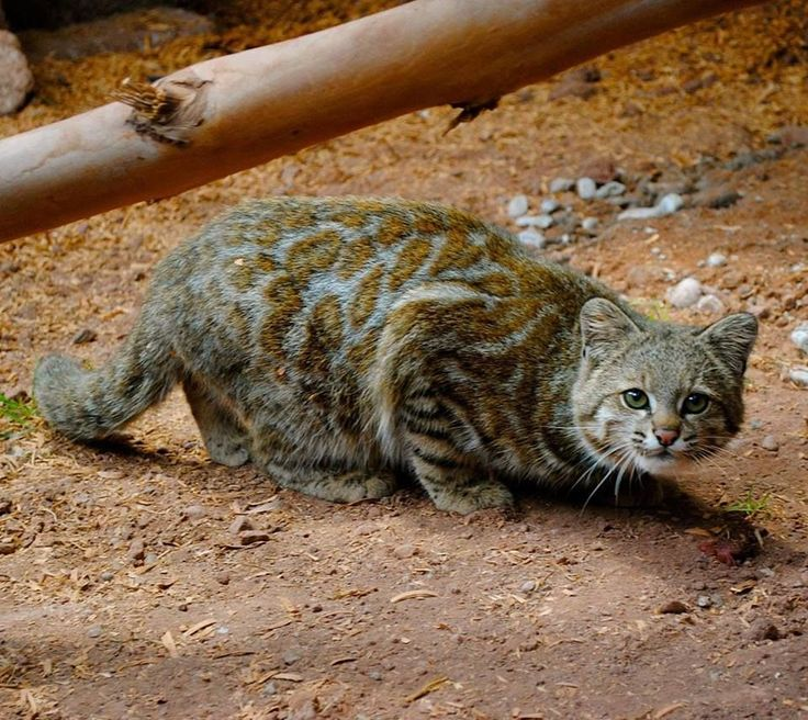 Andean Mountain Cat Kittens