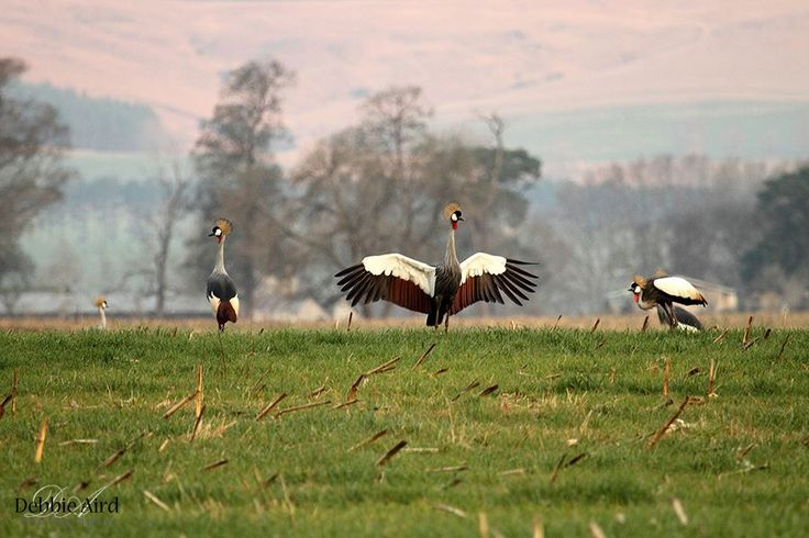 Grey-crowned Cranes - Karkloof KZN. By Debbie Aird. Midlands Meander www.midlandsmeander.co.za #birdingparadise