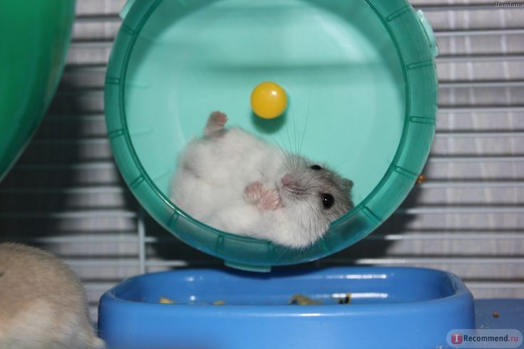 Dwarf hamster on a wheel This is what I look like when I try to exercise :P
