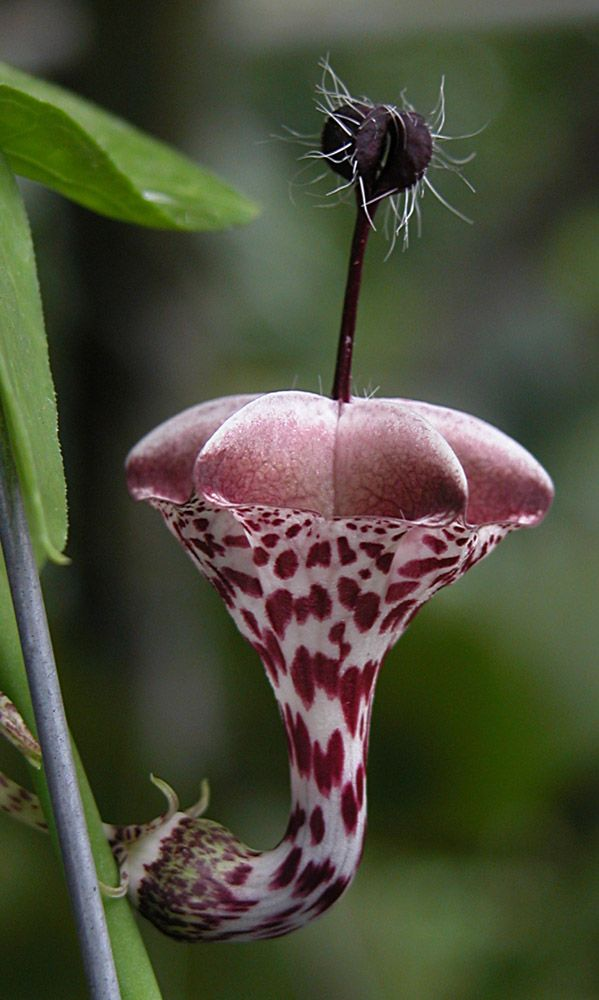 Ceropegia haygarthii~Ceropegia is a genus of plants within the family Apocynaceae. It was named by Carl Linnaeus, who first described this genus in volume 1 of his Species plantarum, which appeared in 1753.