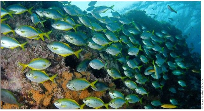 Aguas de Juan Fernández y Desventuradas tienen el récord de especies únicas en el mundo. Estudio revela que el endemismo de peces es incluso mayor que el de Isla de Pascua o Hawai, lo que se explica por el aislamiento geográfico de estos archipiélagos.