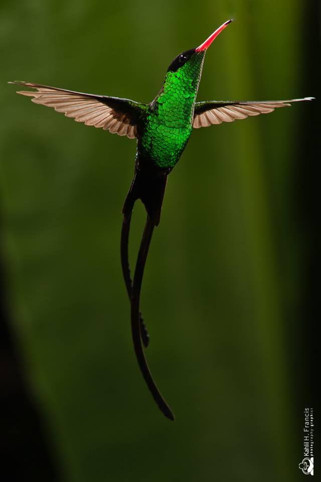 Jamaica National Bird #DoctorBird #hummingbird #beautiful