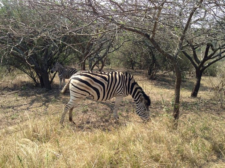 Zebra, PheZulu game park, Durban, South Africa