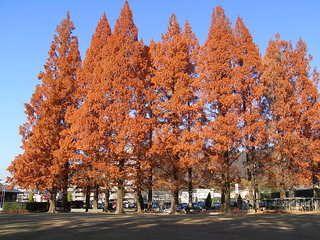 メタセコイアの紅葉(岐阜市・長良公園) - みどりの一期一会