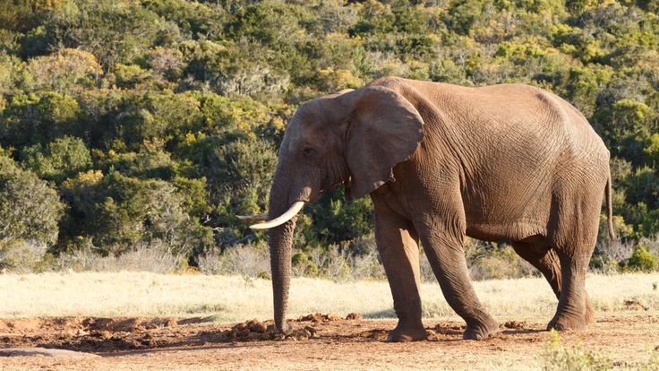 Need to get to the dam -African Bush Elephant Need to get to the dam - The African bush elephant is the larger of the two species of African elephant. Both it and the African forest elephant have in the past been classified as a single species.