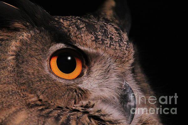 Eurasian Eagle-owl #3  by Judy Whitton