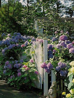hydrangea gate...Picket Fences, Gardens Ideas, Secret Gardens, Gardens Design Ideas, Little Gardens, Interiors Gardens, Flower, White Picket Fence, Hydrangeas