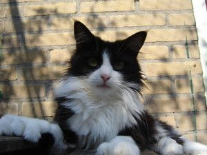 #MaineCoon #Poly #Polydactyl #Cats Daddy Longtail Minou P