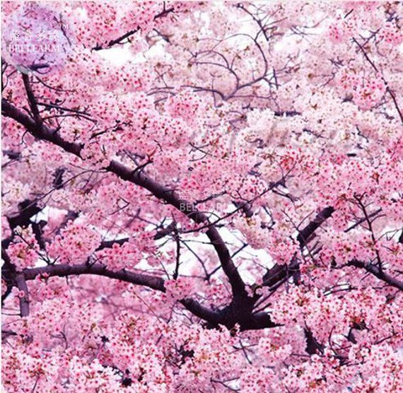 20 Seeds Rare Japanese Pink Cherry Blossom Sakura Tree Oriental Sweet Prunus Flowers Plant Seeds Sakura Tree Blossom Trees Flowering Trees