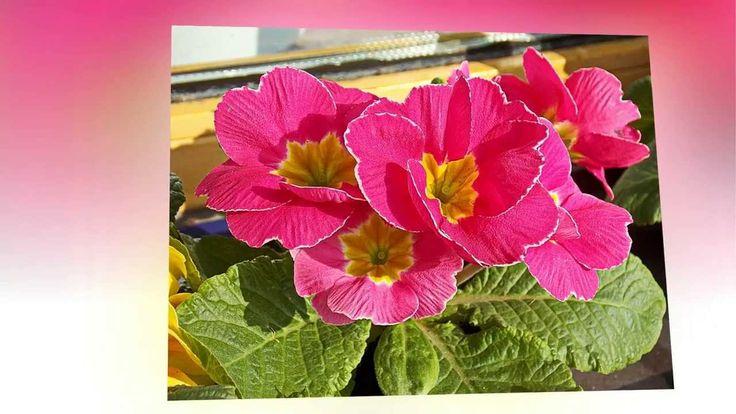 Примула Первоцвет Primula
