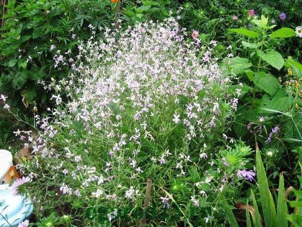 Однолетние цветы, цветущие все лето без рассады - название и фото маттиолы