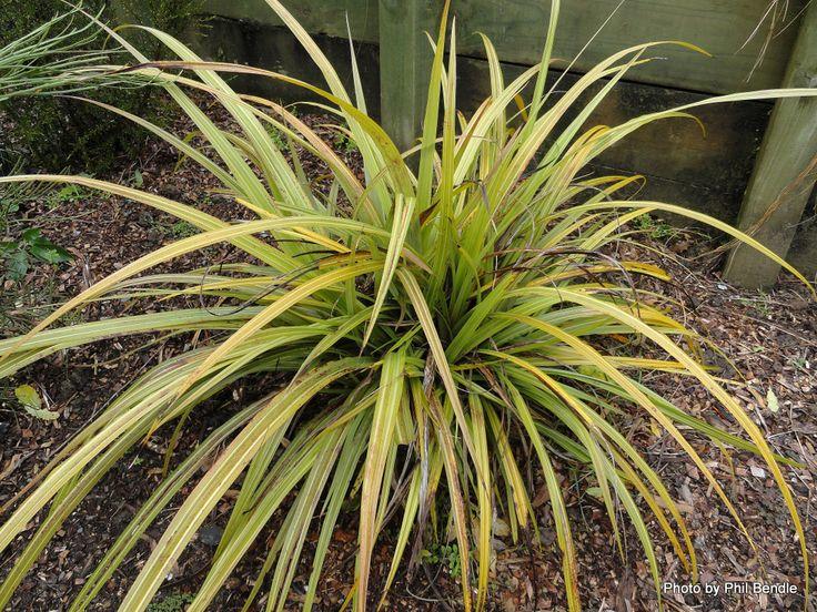 Astelia fragrans - Bush lilly/ Bush flax/ Kakaha (CU)