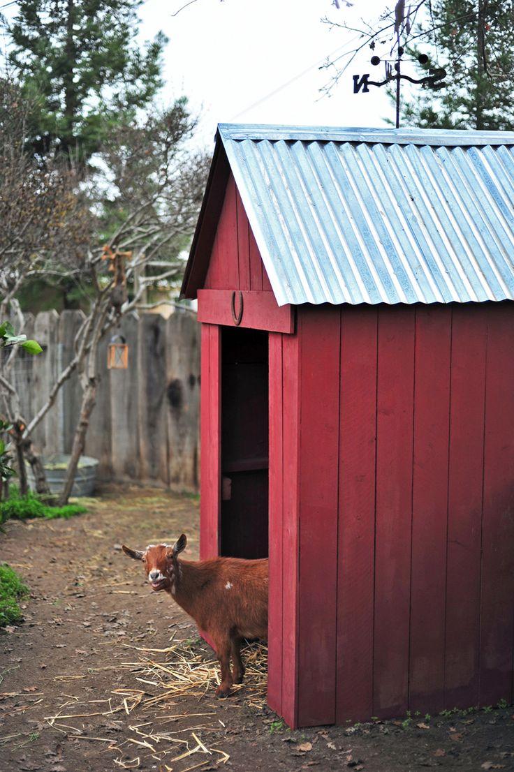 Backyard Urban Homestead Nigerian Dwarf Dairy Goat Pen and Barn
