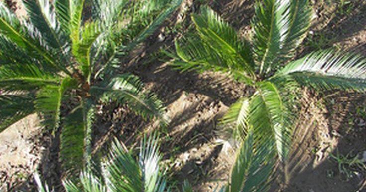 """Características generales de la Phylum Cycadophyta. Consideradas como """"fósiles vivientes"""", las cícadas son plantas de semillas parecidas al helecho que componen a la Phylum Cycadophyta. Las cícadas juegan un papel importante en los ecosistemas mesozoicos. En la actualidad están limitadas a tres familias que crecen solo en regiones tropicales y subtropicales. Son muy populares en jardines de ..."""