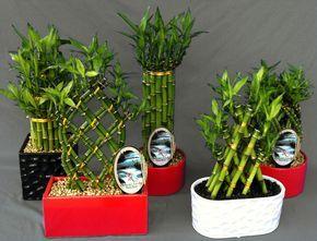 Você Conhece o Bambu da Sorte?