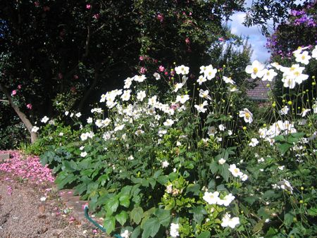 Plant Selection: Anemone Japonica.  I haven't got these in this garden yet as of Oct15 but I'll get them in when the nurseries have them back instock over the next 12 months. They will look terrific.