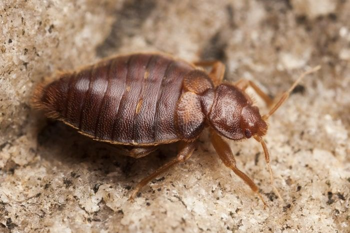 Tips On Home Remedies For Bed Bug Bites That Itch And Swell Bed