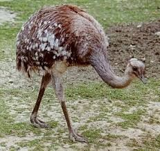 Resultado de imagen para avestruces