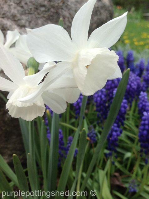 Daffodil ('Thalia') in white, like little angels, www.purplepottingshed.com