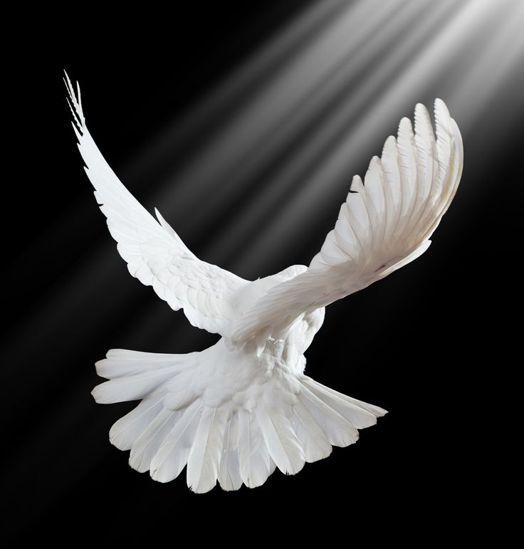 Dove Bird Flying | Dove of Peace December 14th, 2012