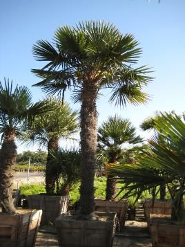 Chinese Windmill Palm... Can Survive in Cold Weather