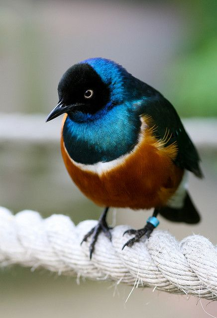 The Superb Starling (Lamprotornis superbus) is a member of the starling family of birds. It can commonly be found in East Africa, including Ethiopia, Somalia, Uganda, Kenya, and Tanzania. Used to be known as Spreo superbus.