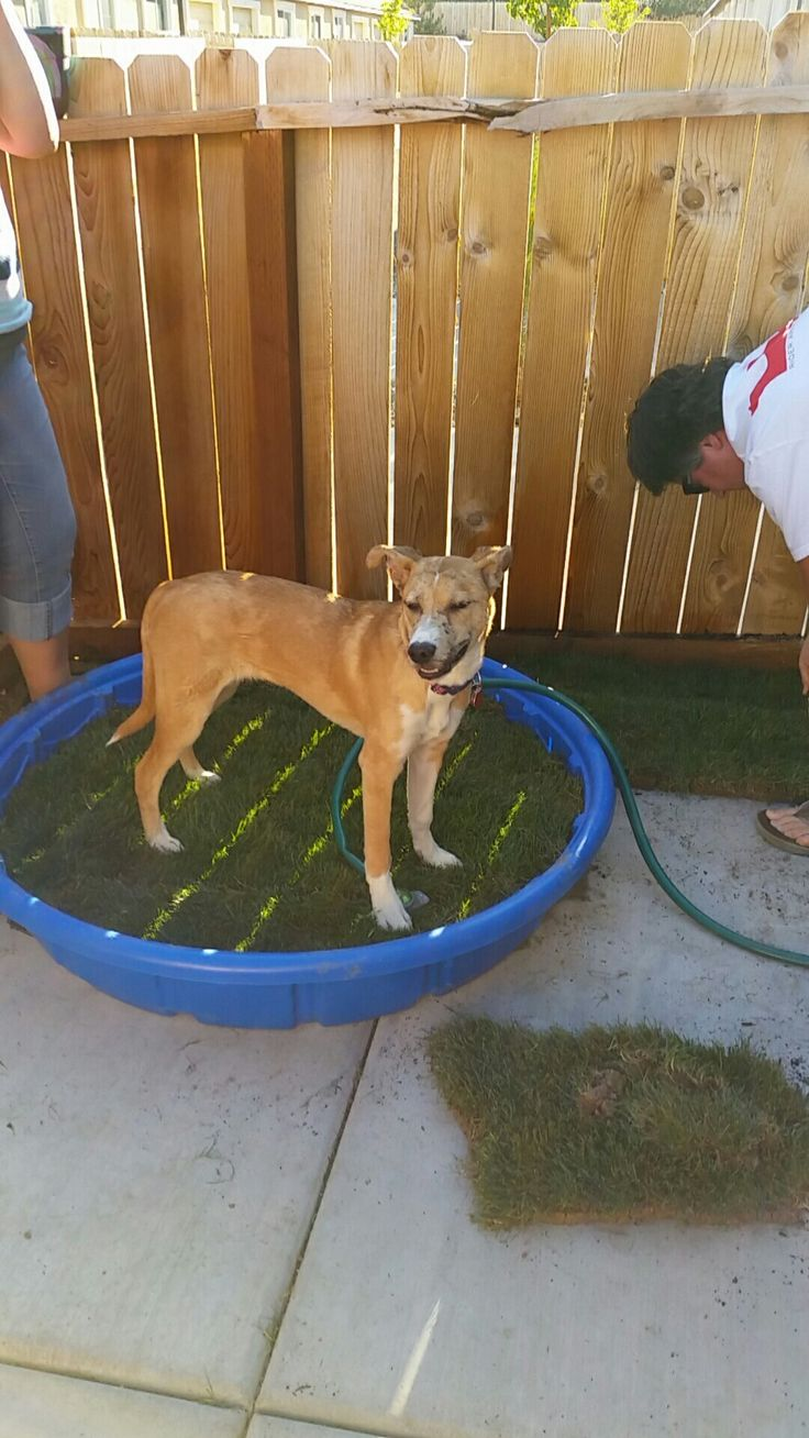 Bella's new patio potty spot Diy- drill holes using a drill bit into a plastic pool. Add some rocks to the bottom then some potting soil then a roll of sod patch together and water and while the automatic potty spot for your dog We did this for our daughters dog who lives in an apartment .