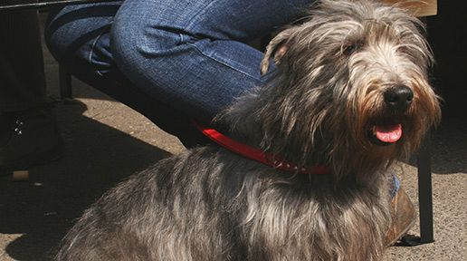 Celtic Canines - top ten Irish dog breeds (PHOTOS) - IrishCentral.com Glen of Imaal Terrier
