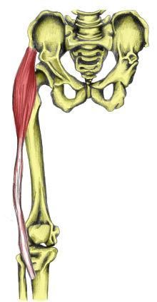 Tensor Fasciae Latae is a small muscle on the outer hip which abducts the joint. It is attached to the IT band. Origin, insertion, actions, innervation and more here.