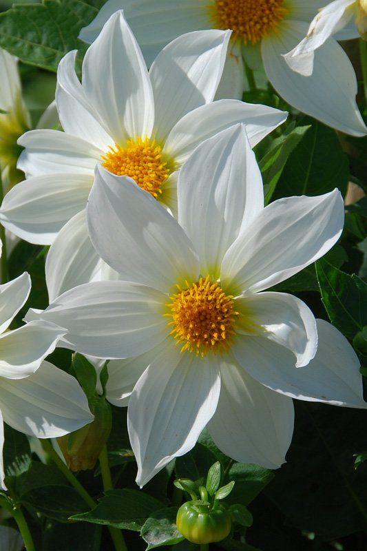 Dahlia à fleurs simples Innocence