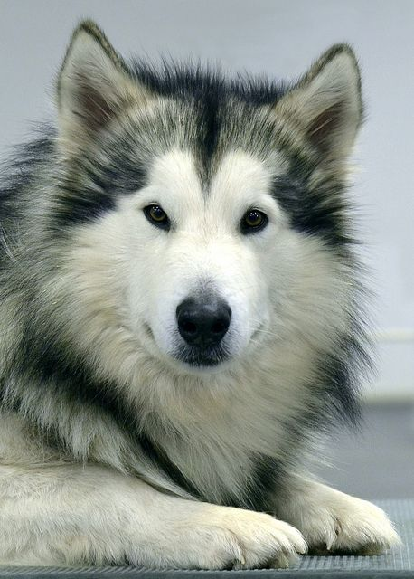 Alaskan Malamute:  Dog art portraits, photographs, information and just plain fun. Also see how artist Kline draws his dog art from only words at drawDOGS.com #drawDOGS
