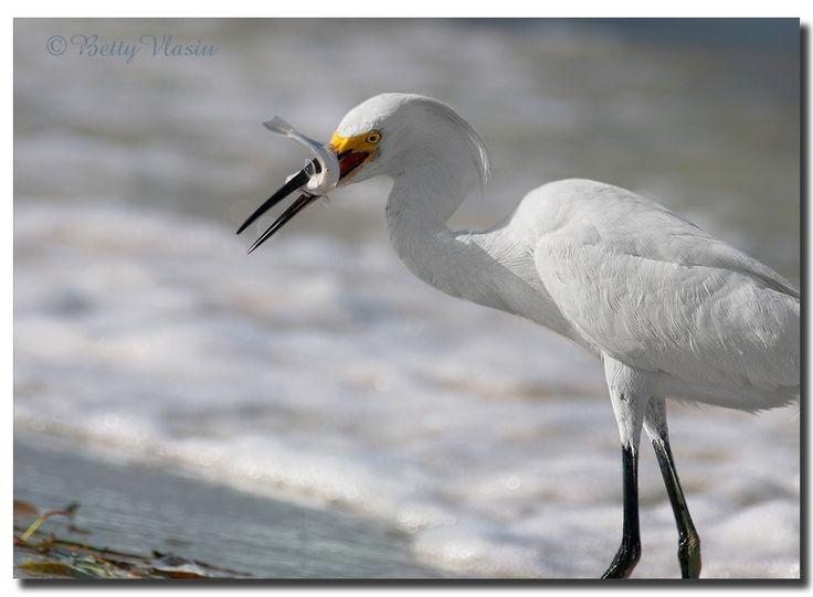 https://flic.kr/p/GbipN5   Snowy Egret