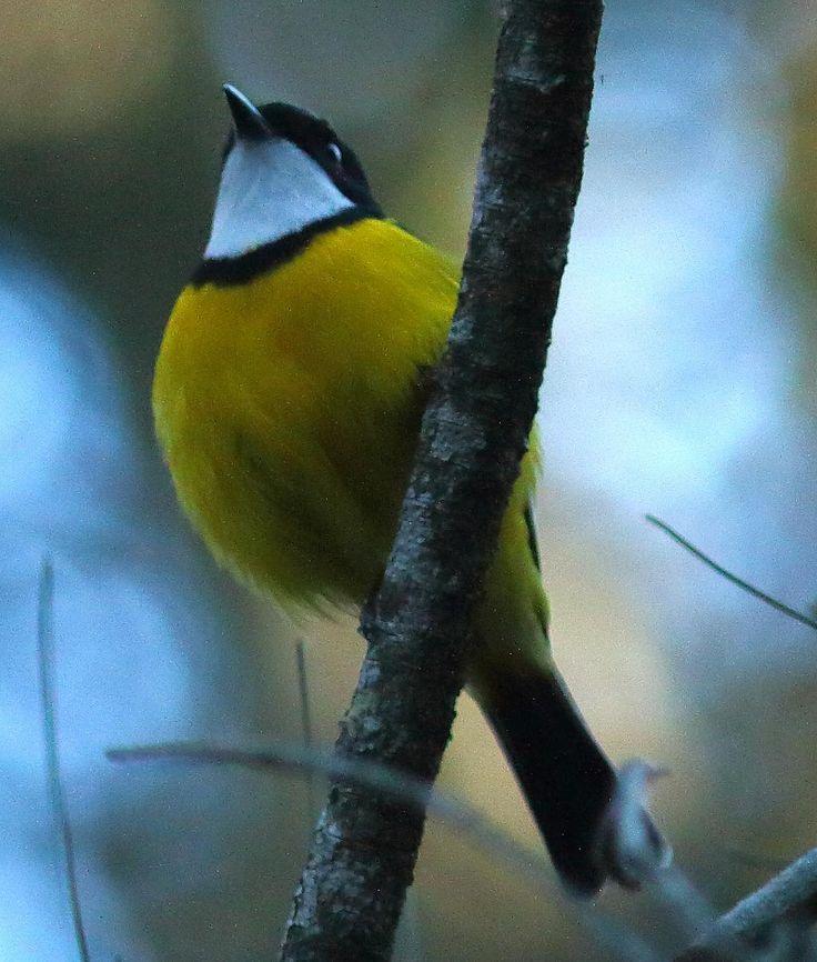 Golden Whistler my place. See http://Birdingwild.com #birds #birding #birdwatching #birdphotography #nativebirds #