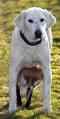 A Fox and a Lab getting along just fine...