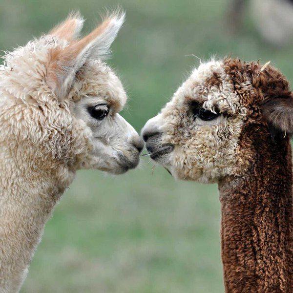 Las alpacas mueren si no tienen pareja