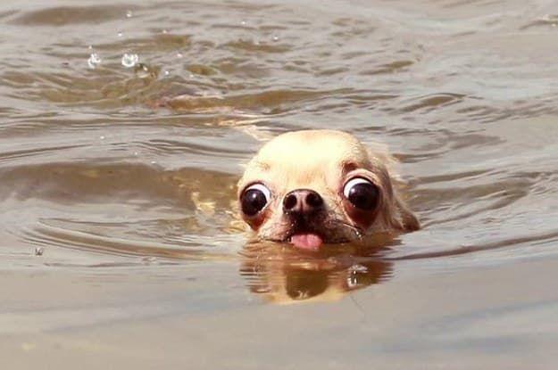 Por que é importante: Ralph conseguia enxergar a chegada logo à frente. Como o primeiro cão a atravessar a nado o Canal da Mancha, ele sabia o quanto esta ocasião era importante. Mesmo com seu corpo definhando, exausto por todo o esforço, seus olhos não conseguiam esconder sua animação com a perspectiva de finalmente realizar o seu sonho.OLHA SÓ ESSES OLHINHOS.