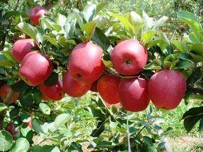 O vinagre de maçã proporciona diversos benefícios à nossa saúde. Ele se destaca principalmente por ajudar a tratar problemas da pele, como marcas de expressão, acne e espinhas. As enzimas, a pectina e os oligoelementos são substâncias que fazem este vinagre ser benéfico à saúde. Apenas um vinagre de maçã de qualidade contém essas substâncias …