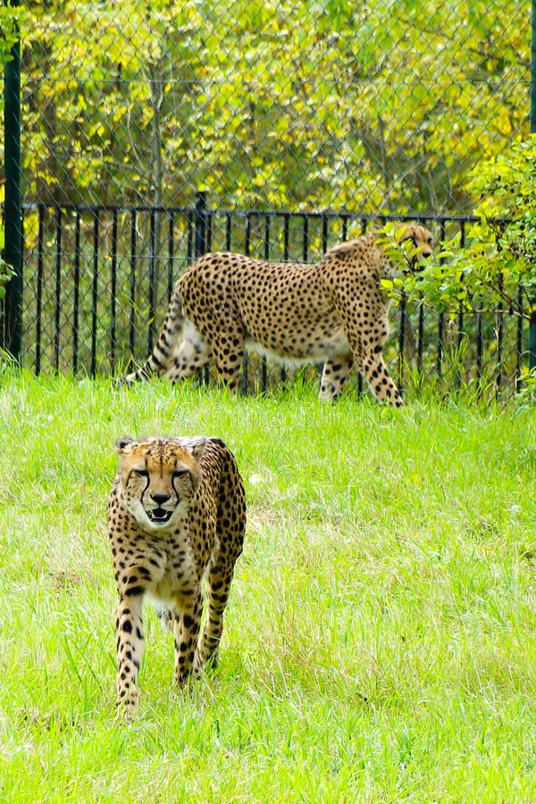 Cheetah, Friendly Animals At The Prague Zoo. Editorial Photography