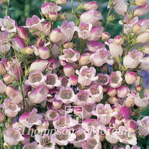Penstemon x Hybrida Lilac Frost