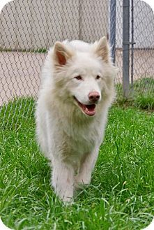 Pearland tx samoyed husky mix meet knight a dog for adoption