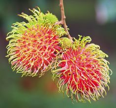 Rambutan Growing Tips: Learn About Rambutan Tree Care - If you've never heard of a rambutan tree you may be wondering what on earth are rambutans and where can you grow rambutans? Read this article to find out more about growing these fruits. Click here for additional information.