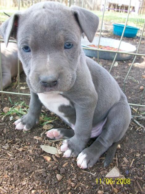 blue bully pitbull puppies for sale image from http www pynprice com files oferte 46 9 blue 8157
